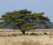 Foto: karakteristieke boom in het Drents-Friese Wold.