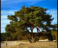Foto: oude boom overleeft op zandvlakte.