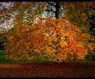 Foto: boombladeren in de herfst.