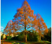 Foto: een driehoek van bomen in oranje herfsttint.