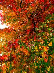 Foto van vurig gekleurd herfstblad.